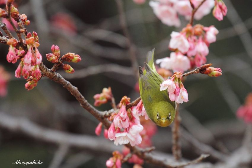 I am here! 🐦 White‐eye Bird Bird Photography Showcase: February Spring Flowers Spring Springtime Flower Collection Cherry Blossoms Flowers Nature_collection Nature Nature Photography EyeEm Nature Lover Popular Photos Taking Photos Tadaa Community EyeEm Best Shots EyeEm Best Shots - My Best Shot
