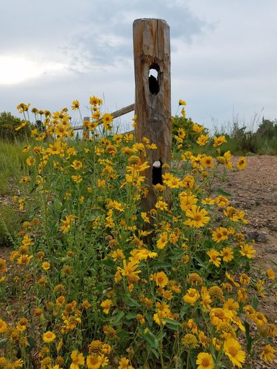 Yellow wildflowers wood fenceMountains Outdoors Hiking Beauty In Nature