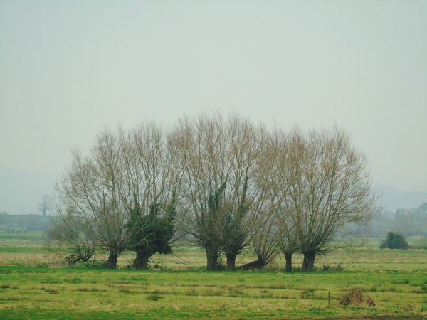 Tree Nature No People Sky Growth Grass Beauty In Nature Nature Landscape Nature On Your Doorstep Willow Trees Somerset Levels Uk