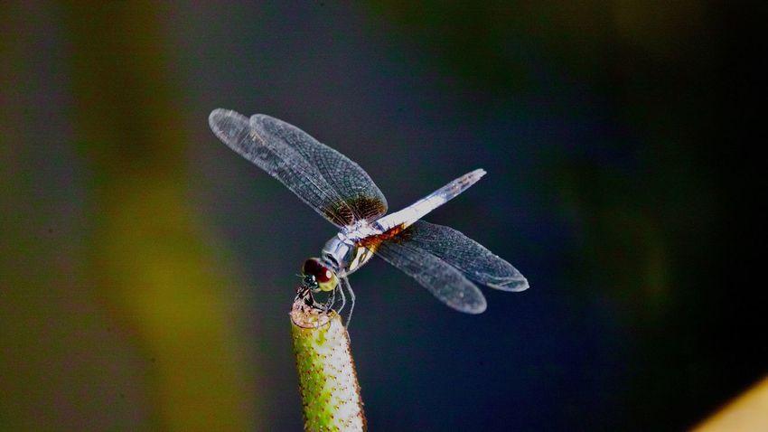 蜻蜓 One Animal Nature Dragonfly Close-up No People Beauty In Nature Outdoors Plant Flying Zoology Butterfly - Insect