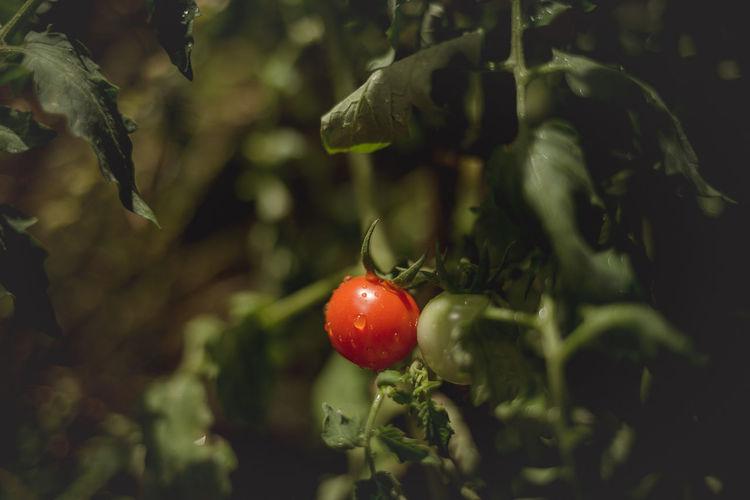 tomatoes Fruit