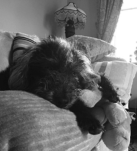 Dog Teddy Dog Love Dogslife Sleepy Dog Teddy Bear Dogs Toy Toy EyeEm Dog Animal Love Animal Photography Dog Photography Dog Lover Bedoodle Bedlingtonterrier Relaxing Enjoying Life Check This Out Happy Happy Dog At Home Family Black And White Photography Black And White Black And White Portrait