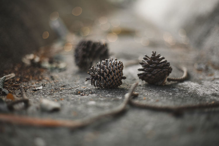 I miss winter Pine Cones Brown Close-up Coniferous Tree Day Food Food And Drink Ground Group Of Animals Land Miss Winter Nature No People Outdoors Pine Cone Pine Cones On Pine Tree Rock Rock - Object Selective Focus Solid Still Life Surface Level Textured  Tree Wood - Material