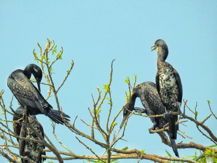 The Indian and Little Cormorant perched on top of a tree Cormorant  Cormorant Bird Nature Nature Photography Bird Photography Birds Of EyeEm  Birdwatching Riverside Bird Sanctuary Mysore Bird Of Prey Branch