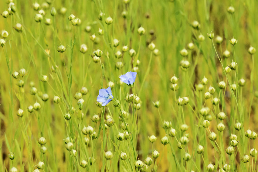 Beautiful flex field , two small blue flowers and several white round fruits, a carpet of green blue and white colors Freshness Beauty In Nature Biological Blue Flowers Capsules Cultivated Field Field Flax Plant Flower Fragility Freshness Green Color Healthy Food Herbal Linseeds Linum Nature No People Outdoors Plant Rural Scene Scattered Seasonal Photography Selective Focus Selectivefocus