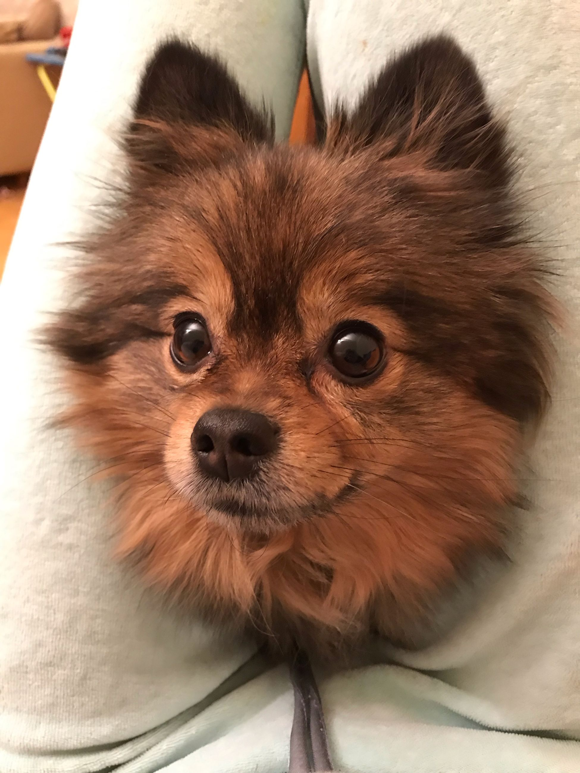 mammal, one animal, dog, domestic, canine, pets, domestic animals, vertebrate, looking at camera, portrait, indoors, close-up, no people, animal body part, lap dog, brown, small, pomeranian, animal eye