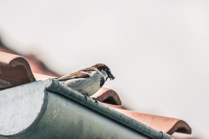 Feeding  Roof Rooftop View Animal Themes Animal Wildlife Animals In The Wild Bird Close-up Day Downspout Nature No People One Animal Outdoors Perching Roofing Tile Sparrow