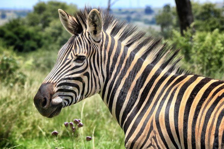 Close-up of zebras on field