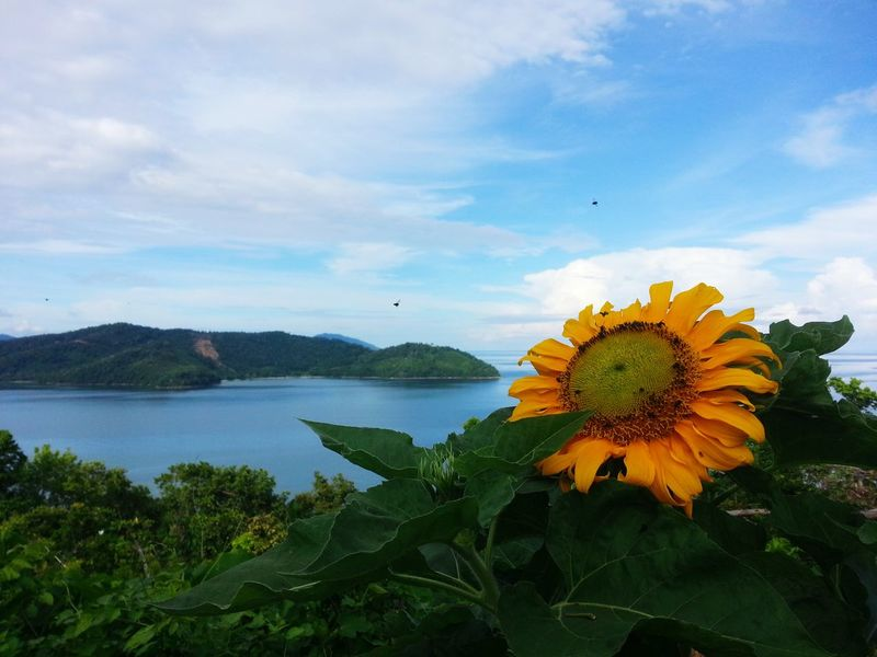 Flower Plant Beauty In Nature Nature Flower Head Outdoors No People Cloud - Sky Day Landscape Travel Destinations Growth Fragility Sky Flying Animal Themes Freshness island First Eyeem Photo EyeEmNewHere EyeEmNewHere Sunflower Bee Kota Belud