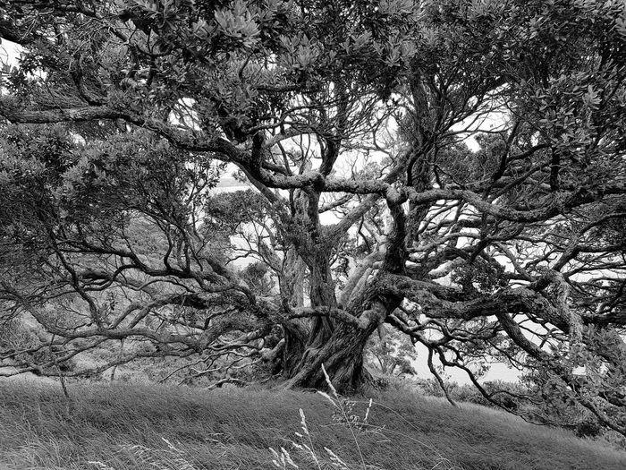 Tree Mammutbaum Mammuttree Woods Greenery Flora Vegetation Wilted Plant