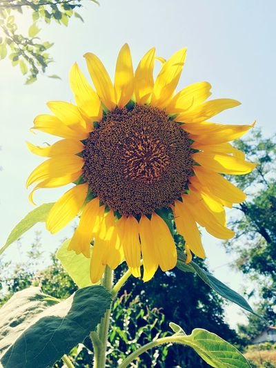 Sunflower Flowers Countryside The Great Outdoors - 2015 EyeEm Awards Nature EyeEm Nature Lover Nature_collection