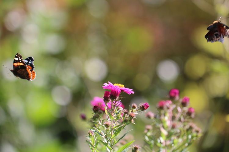 Close-Up Of Butterfly Flying By Pink Flowers