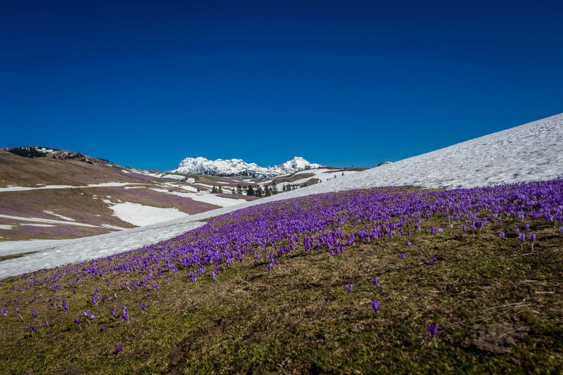 Beauty In Nature Blue Clear Sky Cold Temperature Day Environment Flower Flowerbed Flowering Plant Land Landscape Mountain Nature No People Non-urban Scene Outdoors Plant Purple Scenics - Nature Sky Snow Snowcapped Mountain Tranquil Scene Tranquility