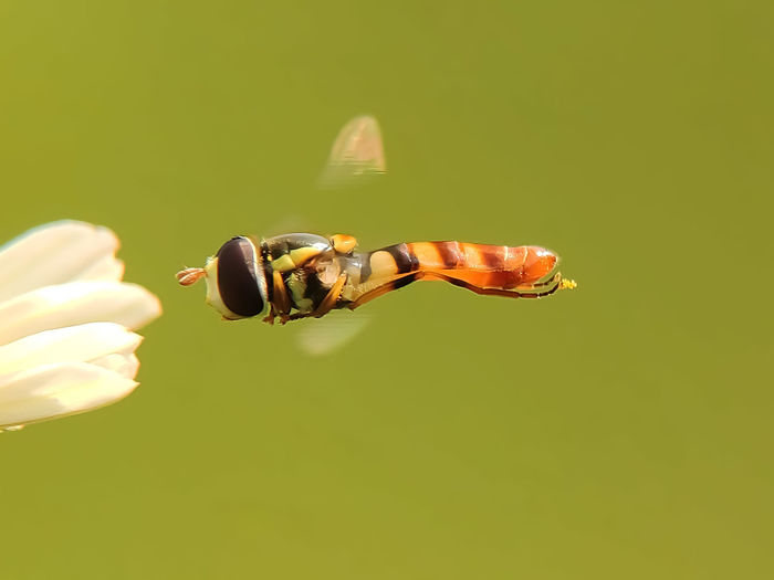 hoverfly freeze
