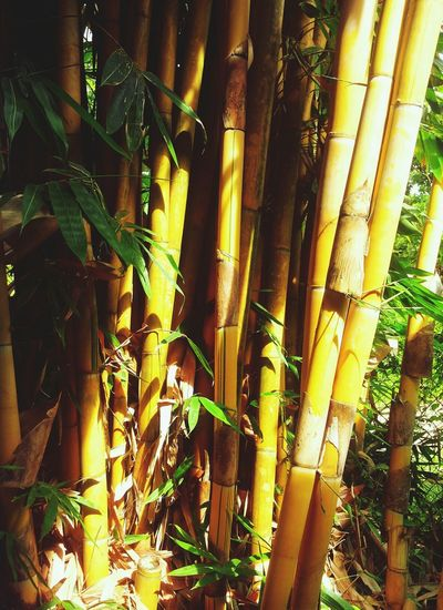Yellow Bamboo Nature