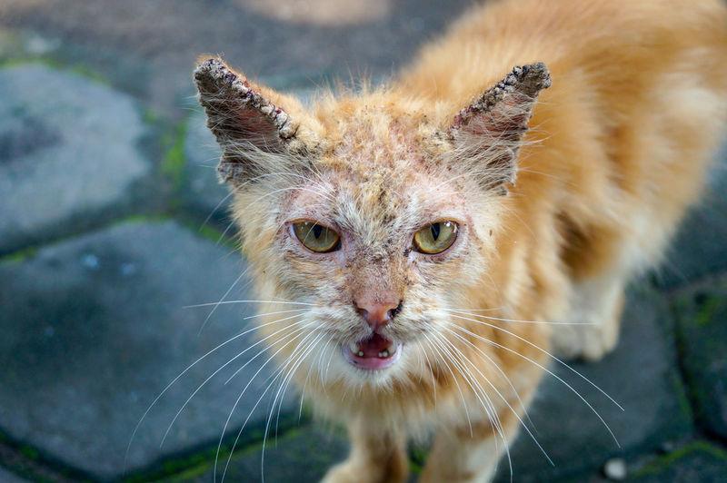 Close-up portrait of illness cat course manga and parasite