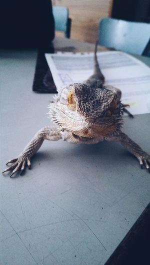 Привет, это Федя. Он фотогеничный. А чего добился ты?) Федя игуана животное рептилия