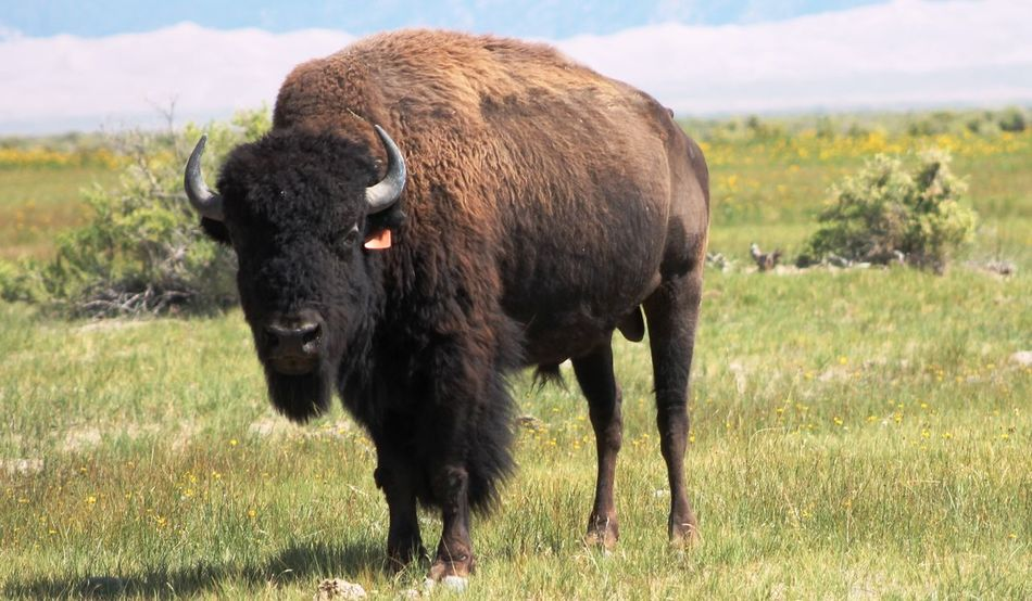 Bison Bison Herd Colorado Nature USA American Bison Animal Themes Day Grass Wildlife