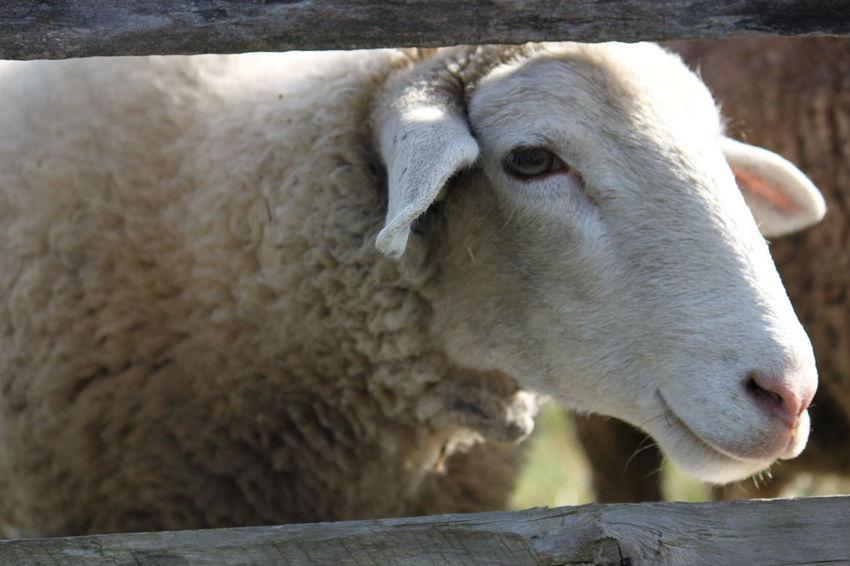 Animal Themes Close-up Domestic Animals Livestock Mammal No People One Animal Sheep Sheep Head Animals