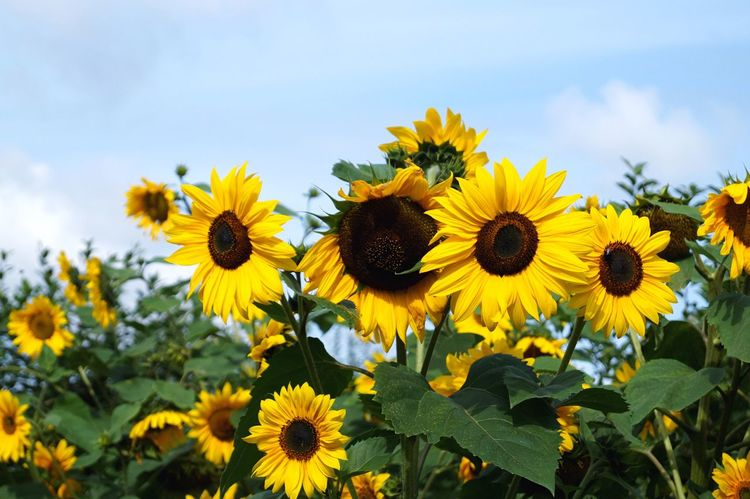 Good morning sunflowers!   Flowers Yellow Freshness Sunflower Fragility Beauty In Nature Sky Blossom Blooming Nature Field Clouds Focus On Foreground In Full Bloom Idyllic Scenery Close-up Day Selective Focus Botany Landscape EyeEm Nature Lover EyeEm Best Shots Eye4photography  Taking Photos Traveling