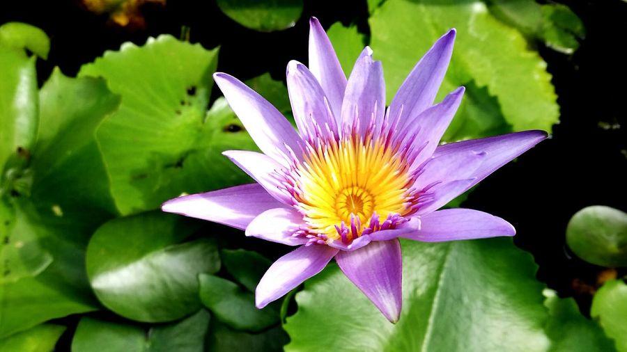 Colorata Lotus Purple Flower Beauty In Nature Flower First Eyeem Photo