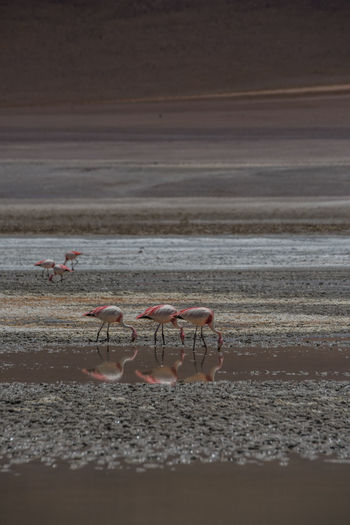 Flamingo birds in bolivia