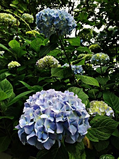 Flower 紫陽花