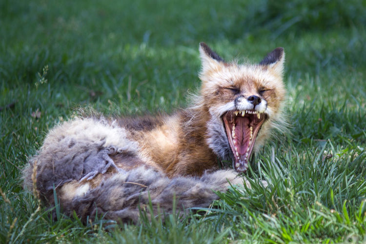 Animal Themes Animal Wildlife Animals In The Wild Close-up Day Field Fox Grass Mammal Nature No People One Animal Outdoors Portrait Red Time Tired Yawn
