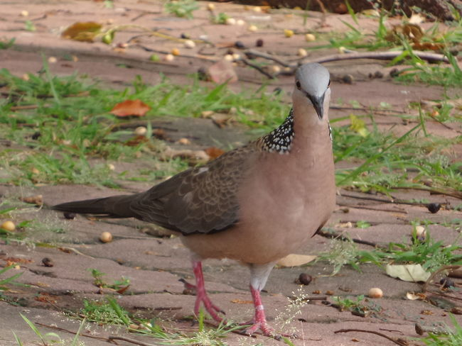 Turtledove Walking Around Looking Stately 珠頸斑鳩