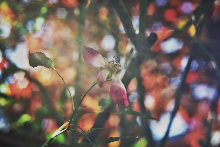 散れ残り Flower Nature Petal Fragility Close-up Beauty In Nature Nikond750 Industar61 Oldlens Tranquility EyeEm Gallery EyeEm Masterclass Capture The Moment Tranquil Scene EyeEm The Best Shots Eyeemphoto Selective Focus Bokeh