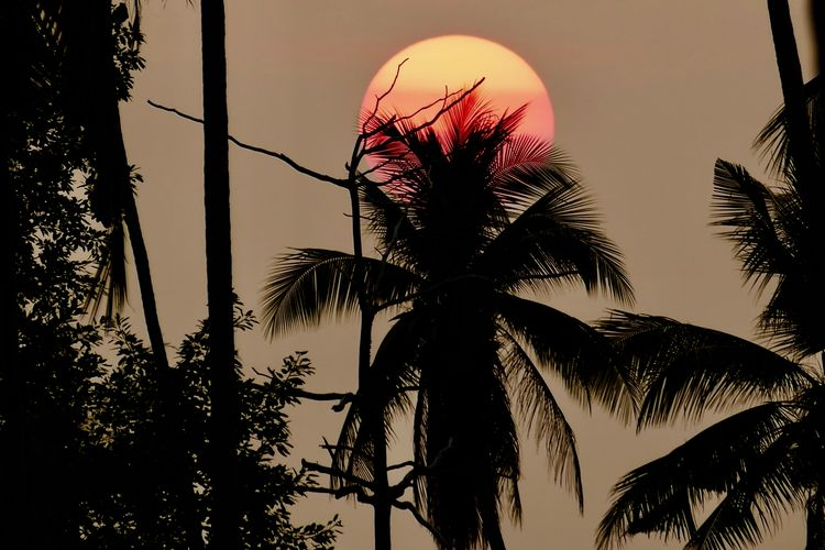 Tree Palm Tree No People Sky Tranquility Dusk Holiday Nature Growth Beauty In Nature Low Angle View Plant Tree Trunk Coconut Palm Tree Branch Scenics - Nature Silhouette Tropical Climate Tropical Tree Sunset Outdoors Palm Leaf Koh Samui,Thailand