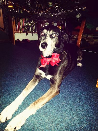 Darling ^^ Dog My Dog Is Cooler Than Your Kid. Christmas
