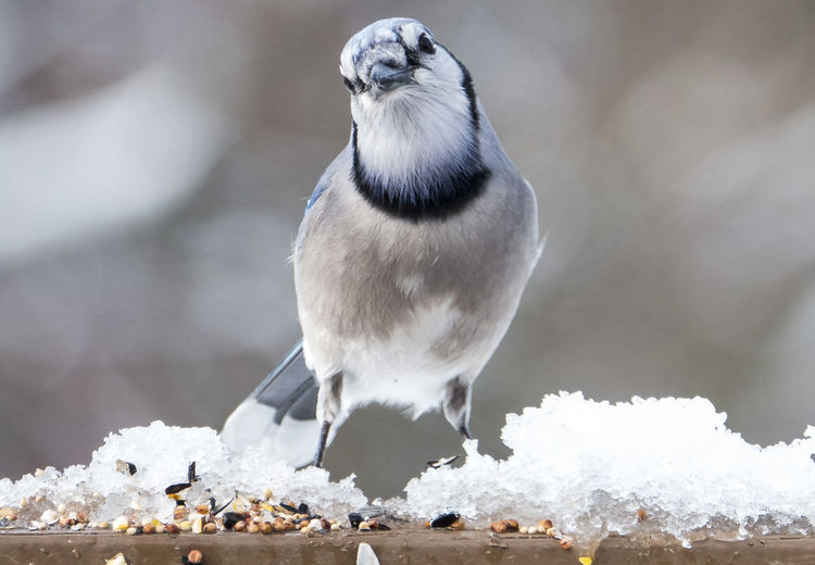 Bird standing in the snow Bird Animal Wildlife Animal Themes Animal Animals In The Wild Cold Temperature Winter Perching Nature Snow Blue Jay Bird Blue Bird Bird In The Snow Snow Bird