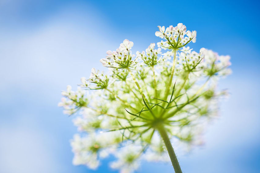 Blüten und blauer Himmel Copy Space Beauty In Nature Blue Close-up Day Flower Flower Head Flowering Plant Fragility Freshness Nature No People Nobody Outdoors Plant Selective Focus Sky Springtime Vulnerability  White Color