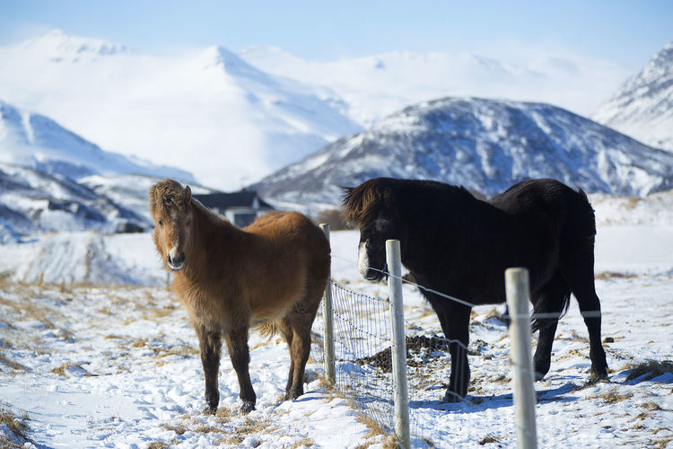 Animal Themes Beauty In Nature Cold Temperature Day Domestic Animals Field Landscape Mammal Mountain Mountain Range Nature No People Outdoors Pets Scenics Snow Standing Togetherness Winter