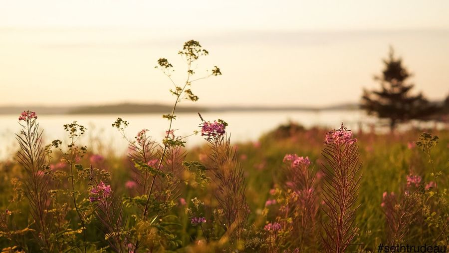 Evening ocean meadow Flower Growth Focus On Foreground Plant Fragility Beauty In Nature Freshness Nature Close-up Water Wildflower In Bloom Blooming Day Tranquility Tranquil Scene Blossom Scenics Botany Springtime Morning Evening Dawn Sethtrudeau Photography