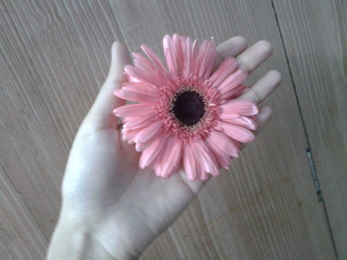 Flower Nature Popular Colour Of Life No Edit No Filter Flower In Hand My Hand  Pink Flower Gerbera The Magic Mission