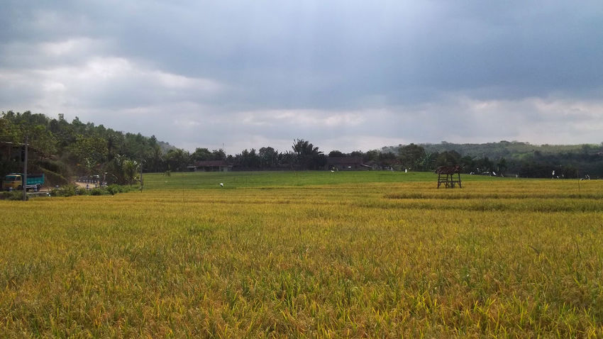 Nature Yellow Rice Field View Nature Nature Photography Beauty In Nature Cloud - Sky Day Field Grass Growth Landscape Nature Nature Rice Field Nature_collection Naturelovers No People Outdoors Ricefield Ricefield View Rijall Rijall Blues Rijallblues Scenics Sky Tranquility Tree Yellow Ricefield