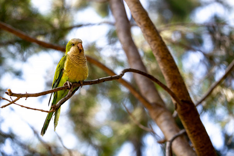 Yellow-green parrot sitting on a pine tree branch on the park. Parrot Bird Nature Color Beautiful Wildlife Colorful Tropical Cute Green Tree Background Wild Yellow Exotic Natural Perrot Feather  Outdoor Branch Forest Beak Portrait Pretty Closeup Bright Park Colorfully Animals Birds Parakeet Macro Environment Fauna Life Parrots Vertebrate Animal Themes Animal Wildlife Animal Perching Animals In The Wild One Animal Low Angle View Plant Focus On Foreground Day No People Outdoors Beauty In Nature The Great Outdoors - 2019 EyeEm Awards