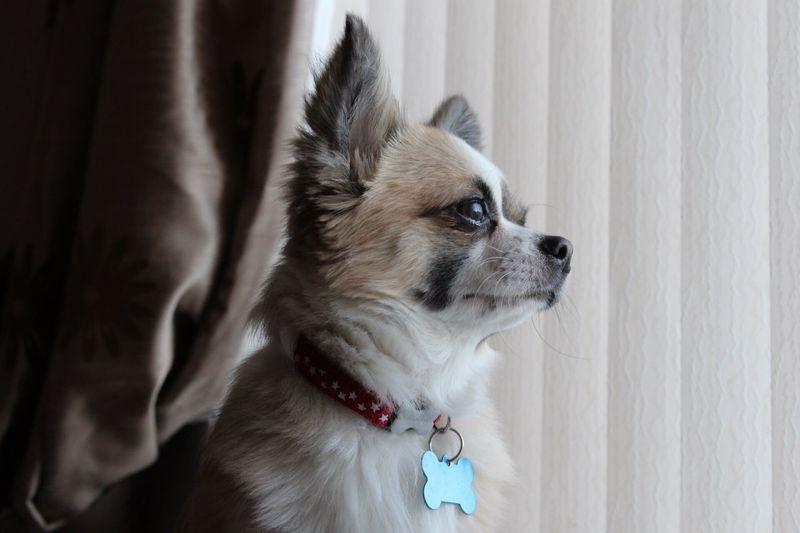 Pets Dog Chihuahua Love ♥ Dog Posing Domestic Animals Chihuahua Pet Photography