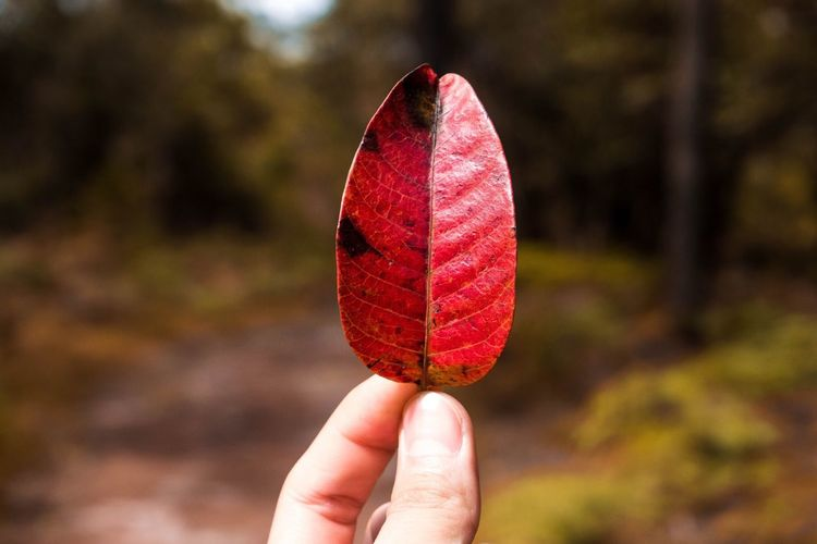 Close-Up Of Person Holding Red Leaf