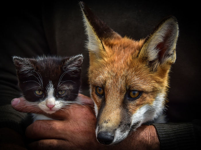 The Fox & the Kitten Barry Murphy Fox & Kitten Ireland Irish Wolfhound Animal Themes Black Background Cat Domestic Animals Fox Hand Human Body Part Human Hand Kerry Kitten Looking At Camera Mammal People Pets Portrait