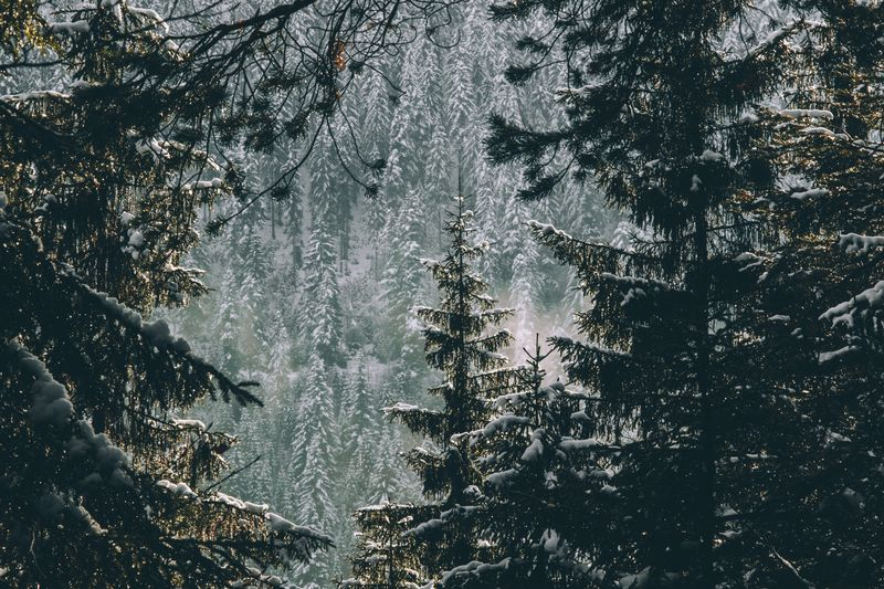 Full Frame Of Pine Trees In Forest