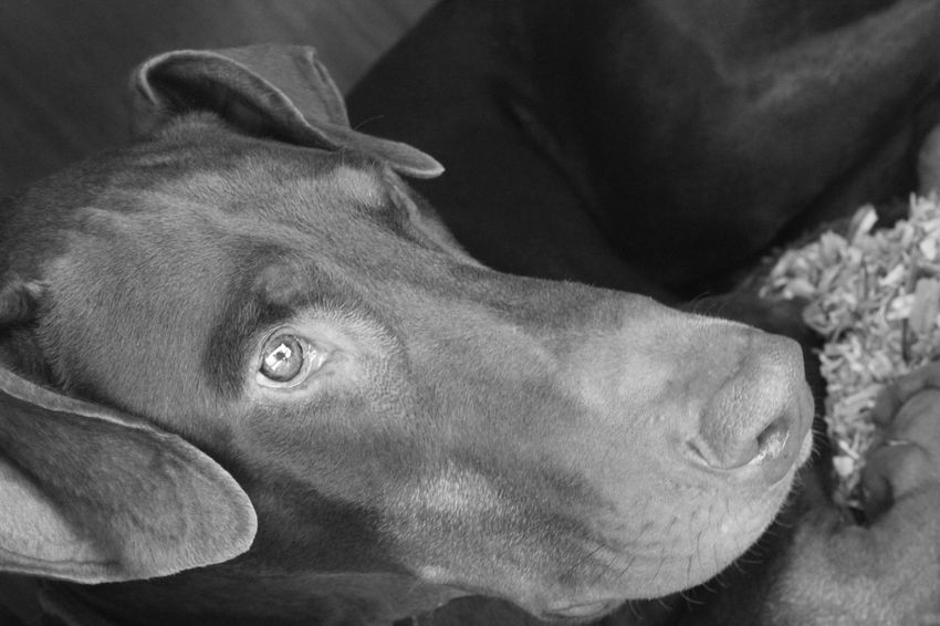 Monochrome Photography Black And White Close-up Pets Canonphotography EyeEm Best Shots Photography EyeEmBestPics EyeEm Gallery Doberman Pinscher Animal