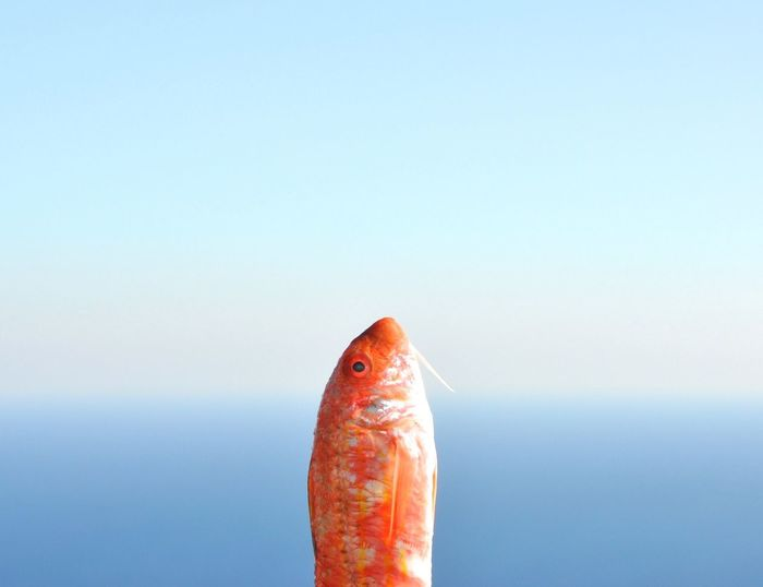 Close-up of fish against sea against clear sky