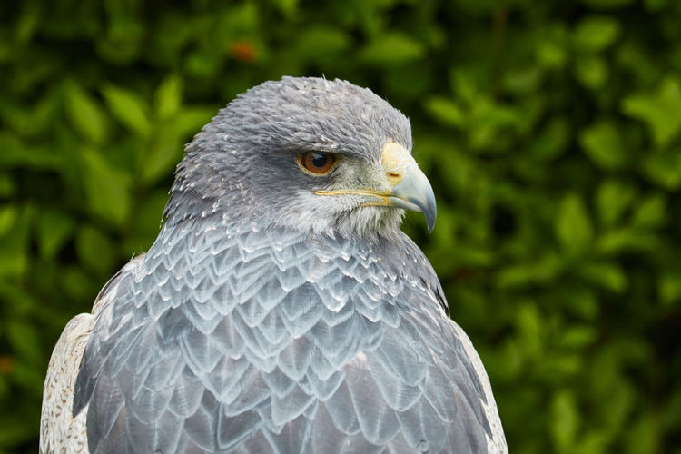 The Black-Chested Buzzard Eagle Black-Chested Buzzard Eagle Eagle One Animal Bird Animals In The Wild Animal Animal Wildlife Bird Of Prey Close-up No People Looking Away Day Nature Animal Head  Animal Eye Profile View Outdoors