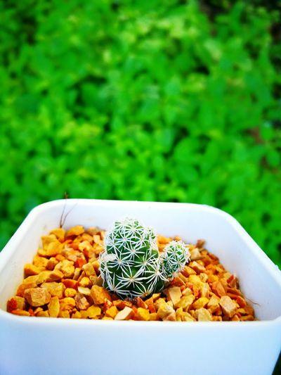 Cactus Cactus Garden