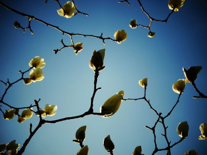 Enjoying Life Nature Flowers Blossom Sky Blue Sky Spring Magnolia