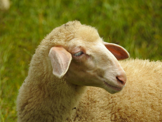 Sheap head from the side Animal Themes Close-up Cow Day Domestic Animals Grass Livestock Livestock Mammal Nature No People One Animal Outdoors Shear Sheep Sheeps Snout Wool Young Animal