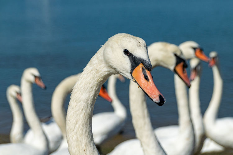 Mute swans, cygnus olor, on the river crouch at south woodham ferrers, essex, uk